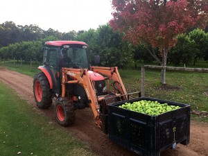 Tractor carrying crate of fresh limes from the Pemberton Orchard